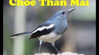 Chòe Than Mái - Chích Chòe Than Mái Hót Kích Trống # 3 Oriental Magpie Robin Female