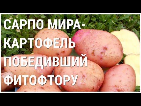 Картофель САРПО МИРА единственный выдержал натиск ФИТОФТОРЫ в сырое лето 2020! Купить клубни ссылка.