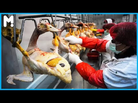 🦢 Modern Geese Farming Technology - Geese Cutting Line Factory Process - Goose Farm Agriculture ▶43