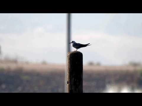 מרומית לבנת כנף White winged Tern