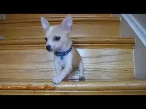Cute Puppies Using Stairs For The First Time Compilation 2015 || AHF