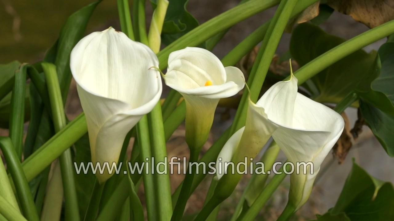 White tulip flower tulipa youtube white tulip flower tulipa mightylinksfo