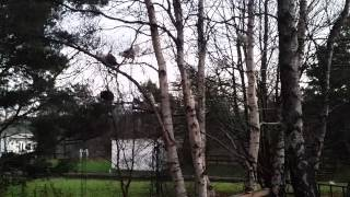 Chickens roosting in the trees!