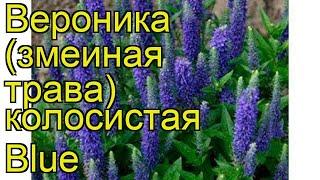 Вероника колосистая Блю (Blue). Краткий обзор, описание характеристик, где купить саженцы, семена