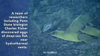 Deep-sea fish use hydrothermal vents to incubate eggs thumbnail