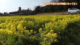 備中国分寺菜の花が綺麗になってる! thumbnail
