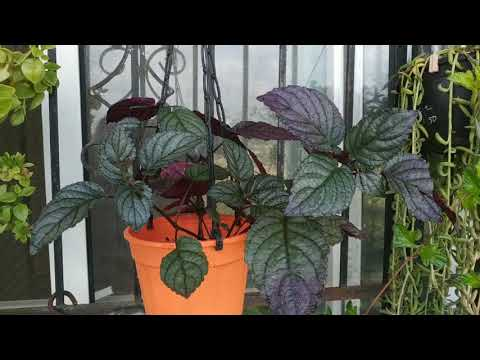 Red/Flame Ivy/Metal leaf plant/Purple waffle plant_Hemigraphis colorata/aternata: it's care n value
