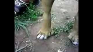 У собаки шесть пальцев