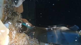 Betta fish community tank Breeding video Malayalam .Fish food  https://amzn.to/2Nw04bI thumbnail