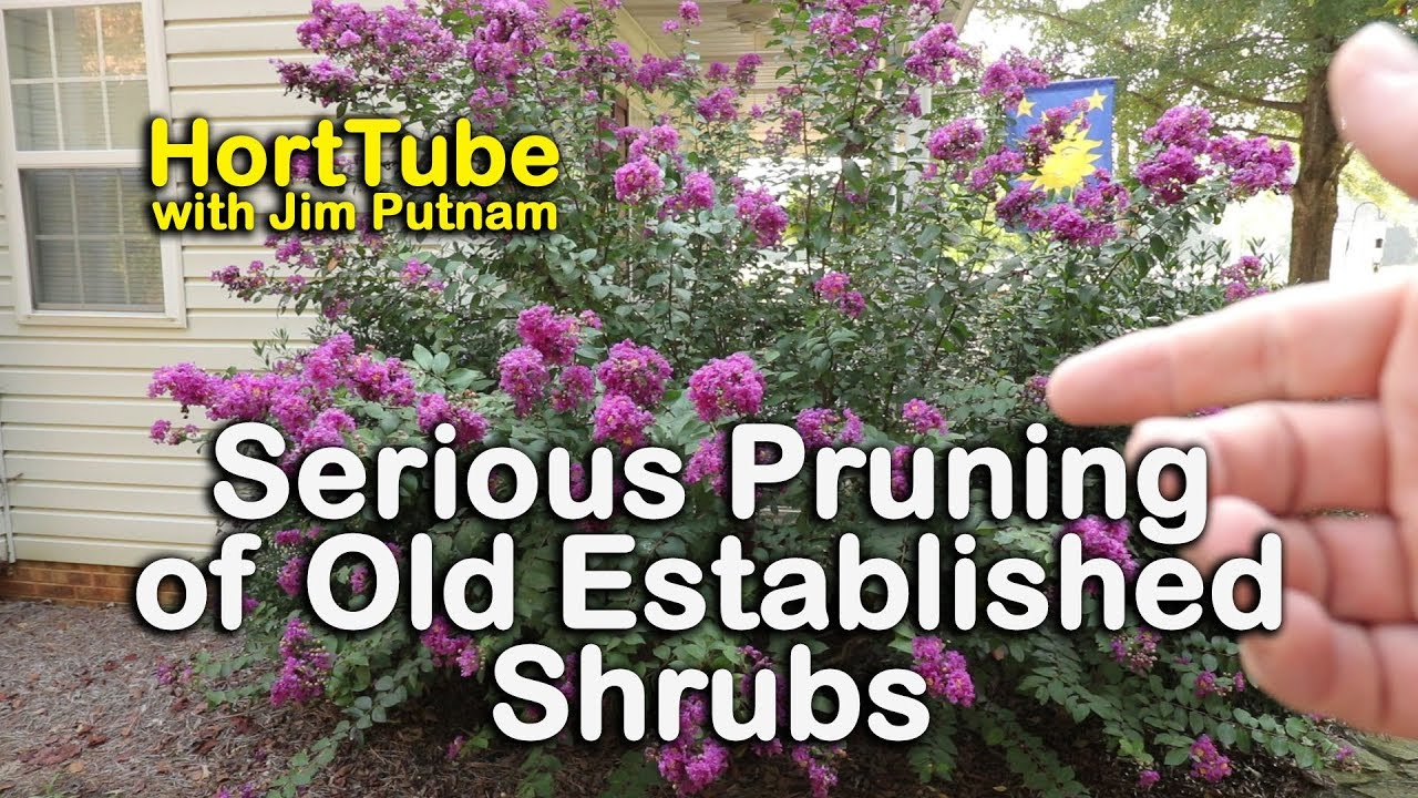 Pruning Old Established Shrubs Very Hard When To Prune Flowering