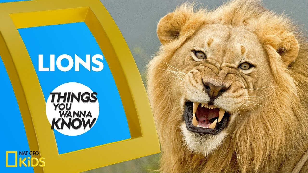 Cool Facts About Lions | THINGS YOU WANNA KNOW