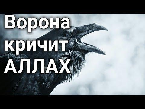 Ворона кричит АЛЛАХ. Все что на земле и на небесах славит АЛЛАХА!!!