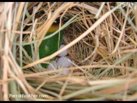 Lovebirds Ki Breeding Kay Liye Nesting Material (URDU/HINDI)