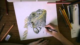 Iguana Time Lapse Drawing