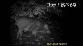 神奈川県小田原市のミカン・クリ畑に出没したイノシシです。 果樹園のオ...