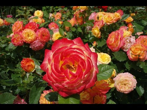 Душистые садовые цветы  РОЗЫ