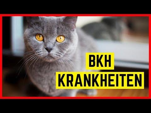 BKH KRANKHEITEN | Rassetypische Erkrankungen Der Britisch Kurzhaar Katze