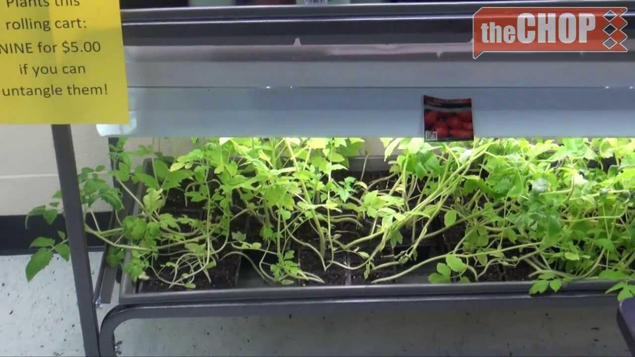 aloe vera and tomato plants for sale youtube. Black Bedroom Furniture Sets. Home Design Ideas