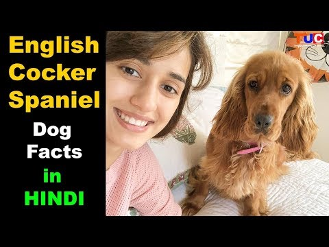English Cocker Spaniel Dog Facts In Hindi : Popular Dogs : TUC