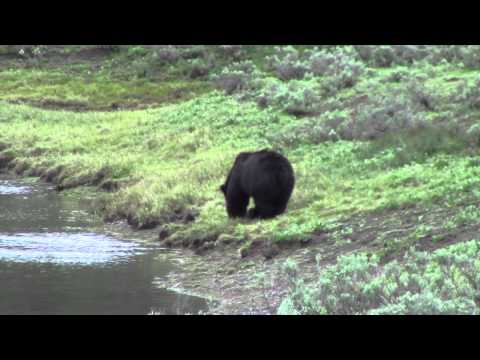 Grizzly Bear - Hayden Valley - Yellowstone National Park - June 2013