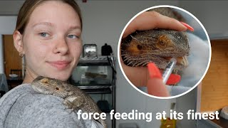How to SAFELY Force Feed Your Bearded Dragon