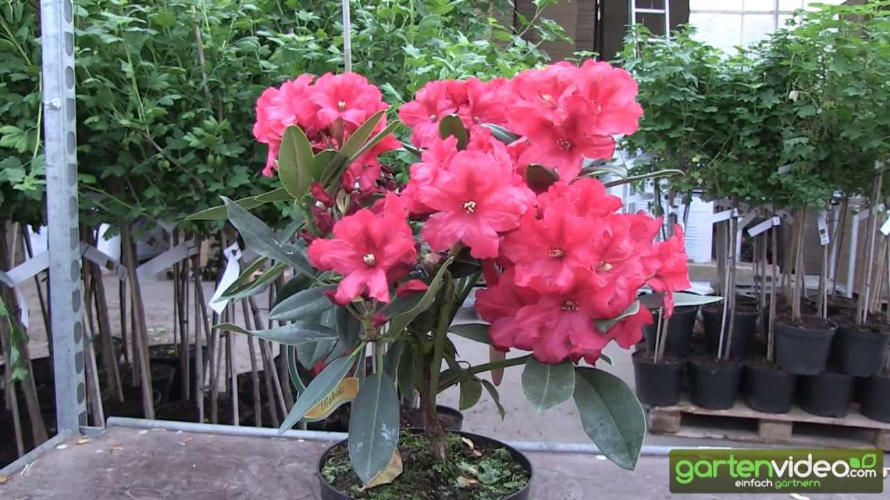 rhododendron hybride rabatz youtube. Black Bedroom Furniture Sets. Home Design Ideas