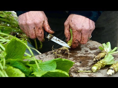 How To Grow Wasabi - Gardening Tips - 동영상