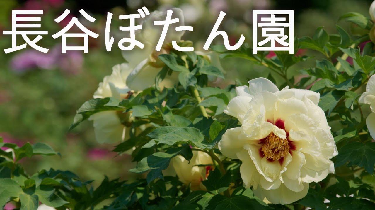 【長谷ぼたん園】東北随一のぼたんまつり かおり風景100選【青森県南部町】