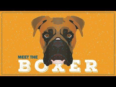 The Boxer | Breed Profile