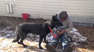 Young Fear Aggressive German Shepard | Majors Academy Dog Training And Rehabilitation