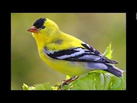 Download Lagu Kicau Burung Kenari Mastering Durasi Panjang Variasi