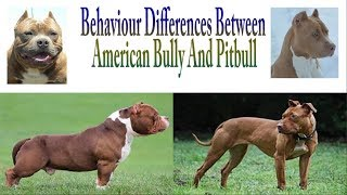 Behaviour Differences Between American Bully And Pitbull