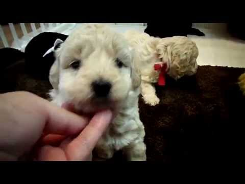 Micro Mini Goldendoodle babies. . .4 weeks old
