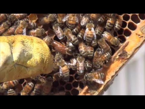 Colony Rescued From Developer - It Survived!!  Queen-a-laying