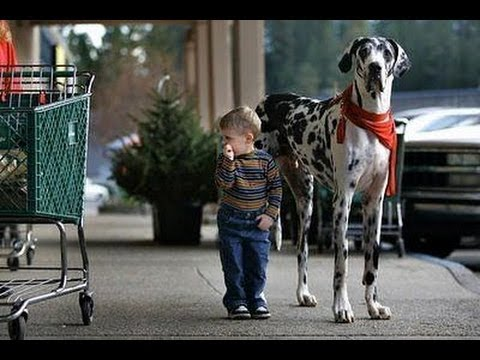 Датский дог (Great Dane). Породы собак (Dog Breed)