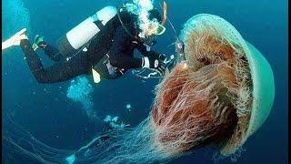 Biggest jellyfish in the world