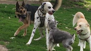 German Shepherd Protects Schnauzer from a Dalmatian