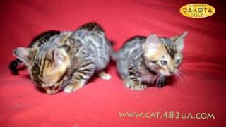 Будни питомника бенгальской кошки Dakota Gold   котята 2