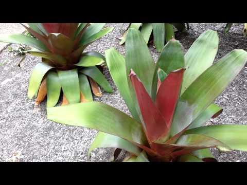 Bromeliad  Alcantarea Imperialis - Top 10 Bromeliads HD 16