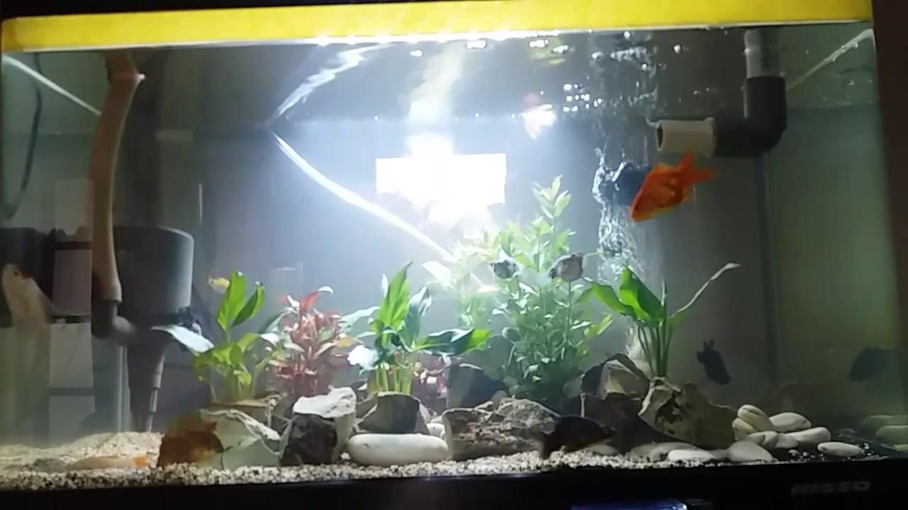 Aquarium Air Tawar Sederhana Youtube Hiasan akuarium air tawar