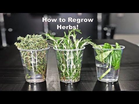 How To Regrow Herbs!