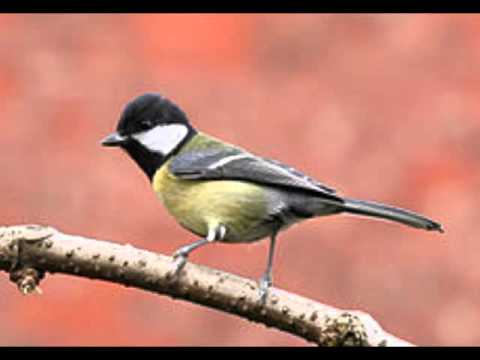 GREAT TIT CALL