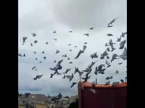 Entraînement des jeunes pigeons 2018 chez AFRICA LOFT.