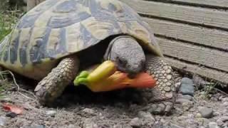 Tortoise eating a trumpet flower
