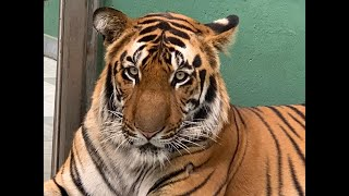 First view of Mumbai Zoo's two magnificent tigers