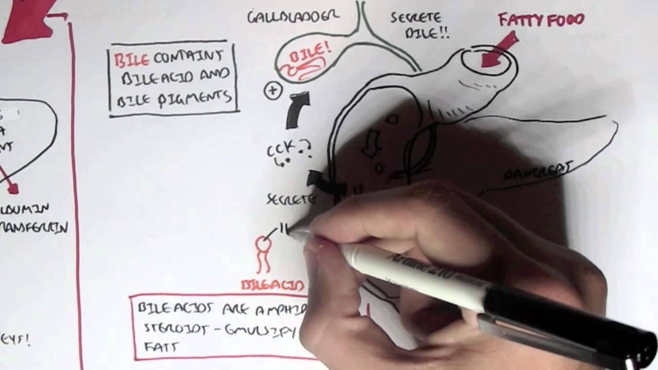 Liver Physiology - YouTube