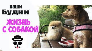 ВЛОГ: Притирка двух Собак на передержке. Шпиц Гетсби и Одри