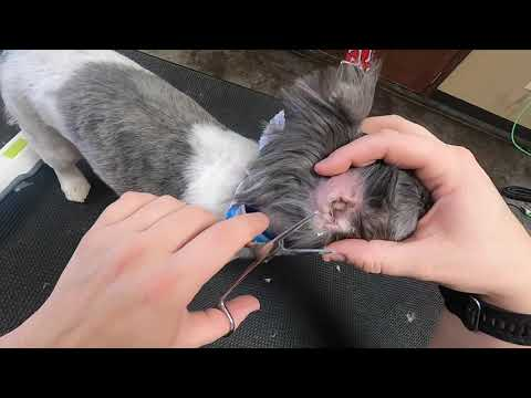 YEAST INFECTION in Shih Tzu's Ear | Ear Cleaning Video