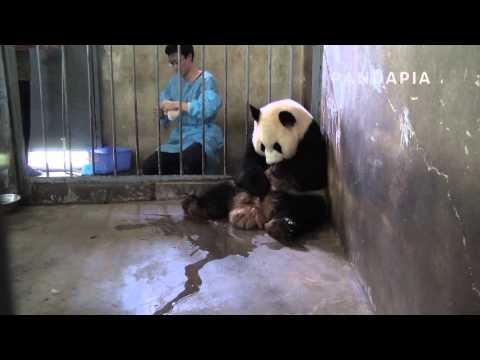 2014 Baby Panda-Mao Sun