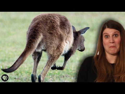 Could Kangaroo Farts Curb Global Warming?